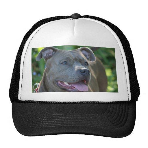 Perro azul del pitbull gorro de camionero