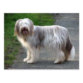 Perro barbudo del collie postal