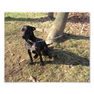 Perro blanco y negro en una cadena fotografía
