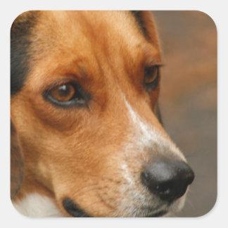Perro de caza enfocado inteligente del beagle pegatina cuadradas