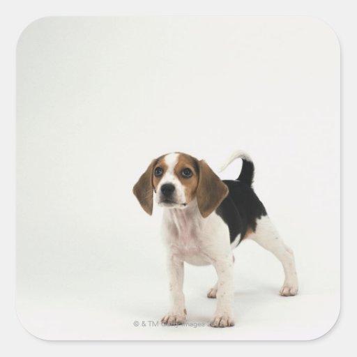 Perro de caza calcomanias cuadradas
