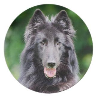 Perro de Groenendael del belga, foto belga del Plato