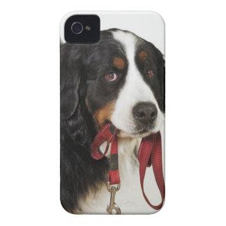 Perro de montaña de Bernese (Berner Sennenhund) iPhone 4 Carcasas