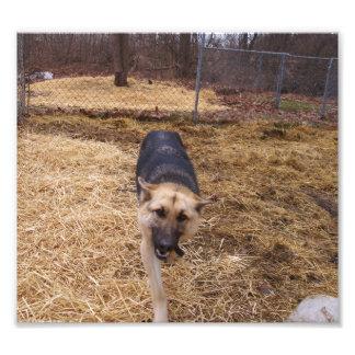 Perro de pastor alemán feliz que camina hacia cáma arte fotográfico