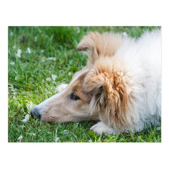 Perro de perrito del collie, cierre áspero lindo postal