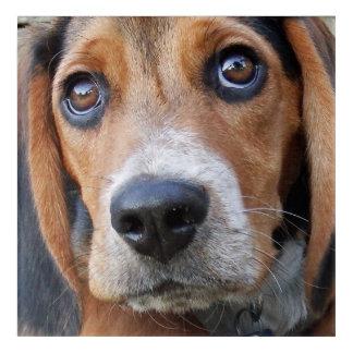 Perro de perrito observado Brown grande del beagle Impresión Acrílica