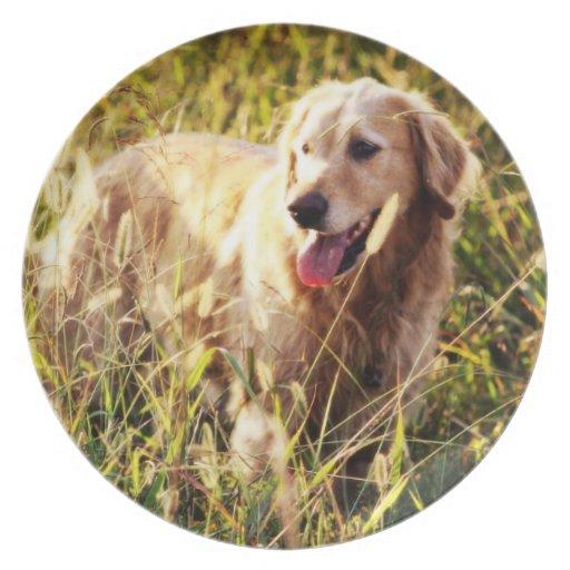 Perro del golden retriever platos