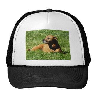 perro, mezcla del pitbull/del boxeador gorra