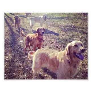 Perros del golden retriever del vintage alineados arte fotografico