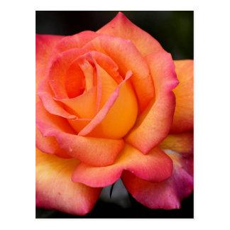 pétalos color de rosa de los flores de la flor de postal