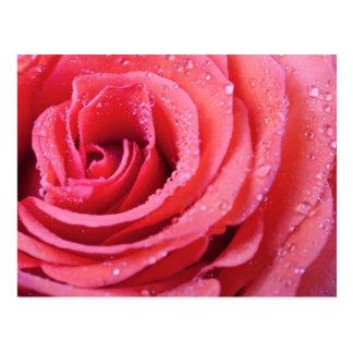 Pétalos color de rosa rosados con descensos del postal