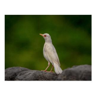 Petirrojo del albino en punto de la corona postal
