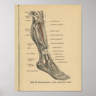 Pie de la pierna de la impresión de la anatomía