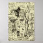 Pierna humana Leonardo da Vinci de la laringe de Póster