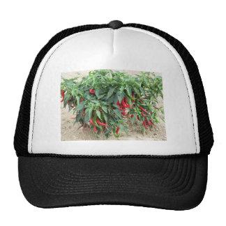 Pimientas de chile rojo que cuelgan en la planta gorros