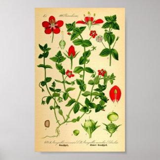 Pimpernel de escarlata (caerulea del Anagallis) Póster