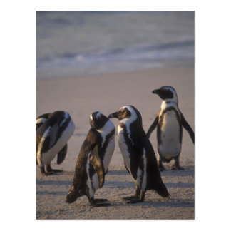 Pingüino africano (demersus del Spheniscus) o Postal