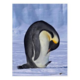 Pingüino de emperador Preening Postal
