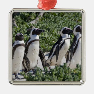 Pingüinos africanos, conocidos antes como Jackass Adorno Para Reyes