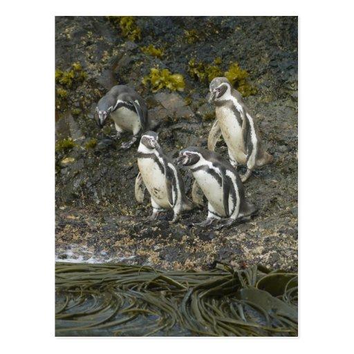 Pingüinos de Chile, isla de Chiloe, Humboldt, Postales