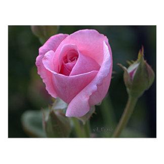 Pink Rose de tía Dorothy Postal