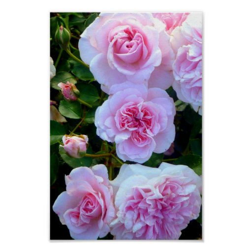 Pink Roses Posters