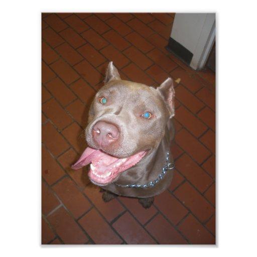 Pitbull azul grande que sonríe en la cámara arte con fotos