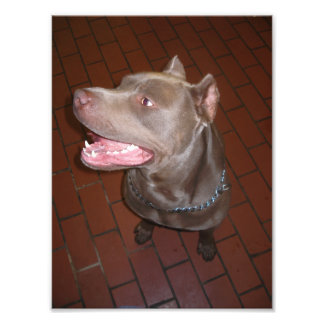 Pitbull azul que sonríe y que mira al lado fotografias