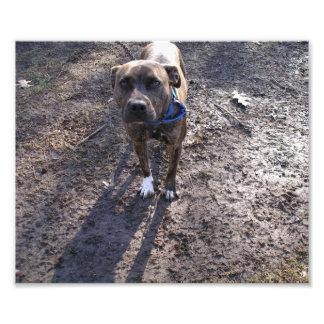 Pitbull Brindle gris que se coloca en el fango Arte Fotográfico