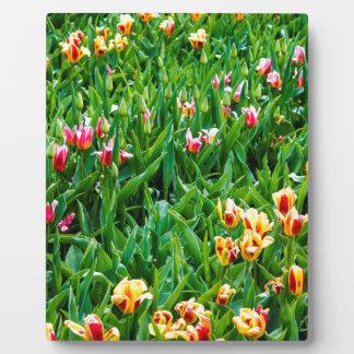 Placa Expositora Campo con los tulipanes rosados y amarillos