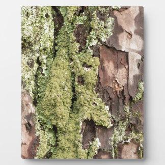 Placa Expositora Corteza de árbol de pino de la costa este mojada