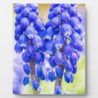 Placa Expositora Dos jacintos de uva azules en primavera