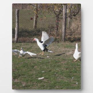 Placa Expositora El luchar de los gansos