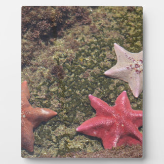 Placa Expositora Estrellas de mar vivas (4).JPG
