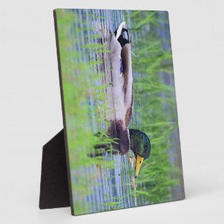 Placa Expositora Pato masculino del pato silvestre que flota en el