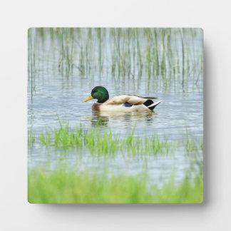 Placa Expositora Pato silvestre masculino o pato salvaje,