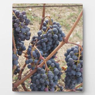 Placa Expositora Uvas rojas en la vid. Toscana, Italia
