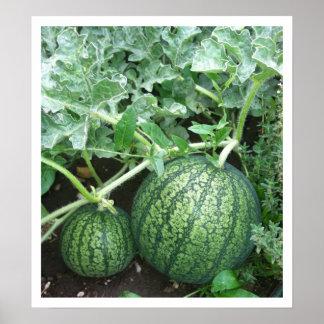 Planta de la sandía con los pequeños melones en ja impresiones