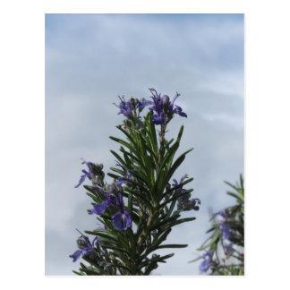 Planta de Rosemary con las flores contra el cielo Postal