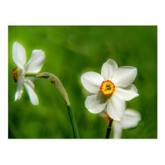 Planta del narciso postal