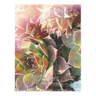 Plantas de la gallina y del polluelo, Succulents, Postal