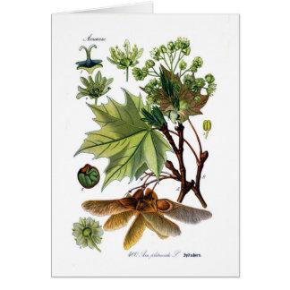 Platanoides de Acer (arce de Noruega) Tarjeta De Felicitación