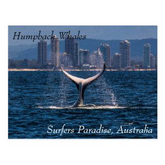 Platija de la cola de la ballena jorobada del postal