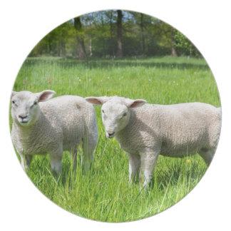 Plato Dos ovejas holandesas blancas en prado verde de la