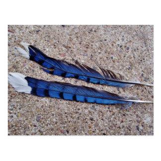 Plumas de pájaro del arrendajo azul tarjetas postales