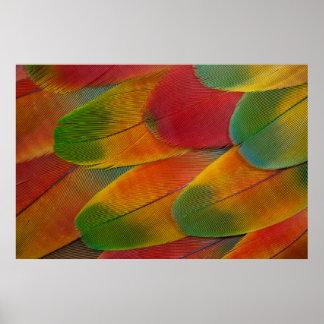Plumas del loro del Macaw del Harlequin Póster
