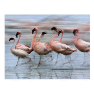 Pocos flamencos en el movimiento, Phoenicopterus Tarjeta Postal
