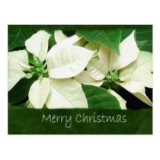 Poinsettias blancos 1 - Felices Navidad Postales