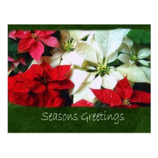 Poinsettias mezclados 1 del color - saludos de las tarjetas postales