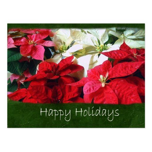 Poinsettias mezclados 3 del color - buenas fiestas postales